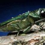 Emerald ash borer found just outside Fort Collins Colorado
