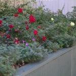 Easiest perennials for Colorado gardens, from salvia to ornamental grass