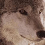 'Howl you vote?' wolf advocates, opponents ask Colorado