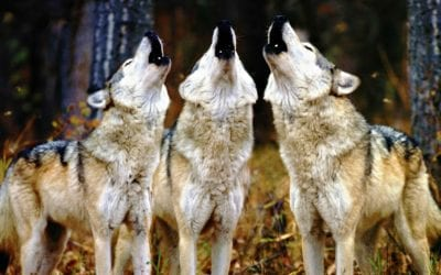 Colorado Votes to Bring Back Wolves For the First Time Since the 1940s