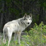 """""""We knew it would be tight"""": Colorado wolf reintroduction riding on razor-thin vote margin"""