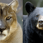 Colorado's Controversial Black Bear, Mountain Lion Killing Plan, Defanged in Federal Court - EnviroNews | The Environmental News Specialists