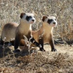 At risk of extinction, black-footed ferrets in Colorado get experimental COVID vaccine