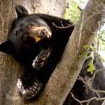 Bears attack and kill Colorado woman, wildlife officials confirm human remains found in animals' stomachs