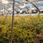Colorado lawmakers aim to enact strict new regulations on marijuana concentrate, medical cannabis