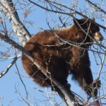 Bear relocated after getting caught in tree along busy downtown Colorado Springs street