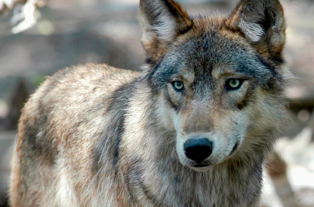 Colorado wildlife manager investigated for meddling with wolf reintroduction