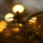 Colorado marijuana entrepreneurs fuel 'green rush' in Oklahoma - Portland Press Herald