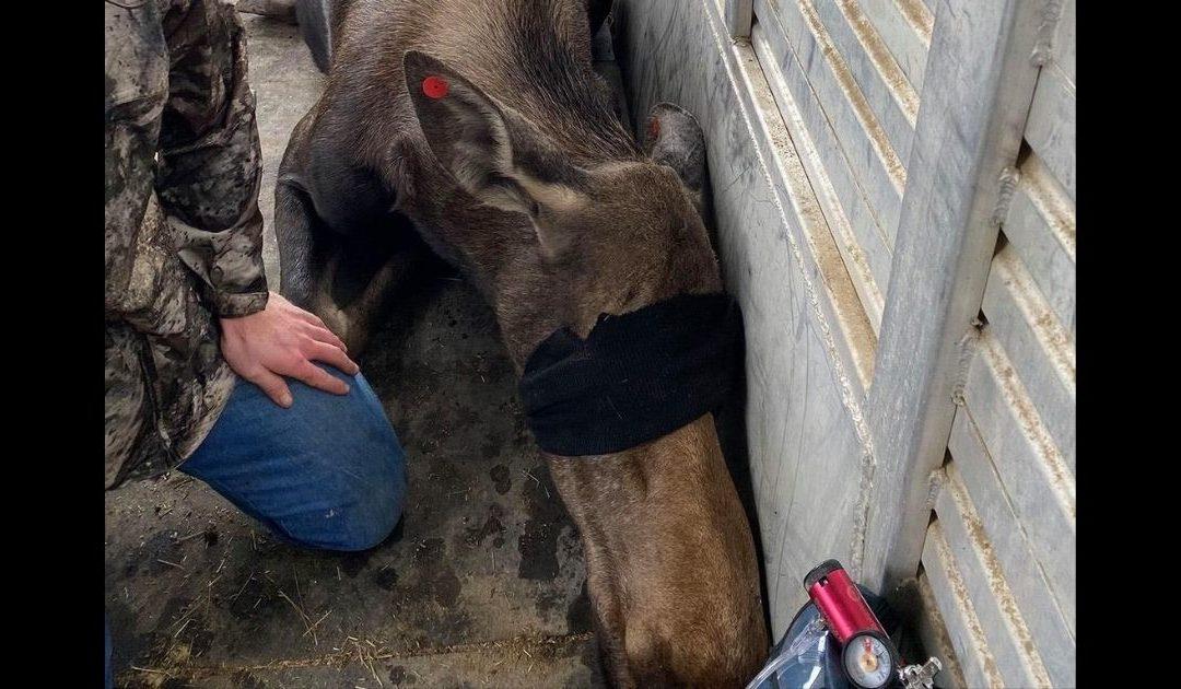 Colorado Moose Calf Reunited with Mother After Plummeting 4 Feet Into Burned Basement