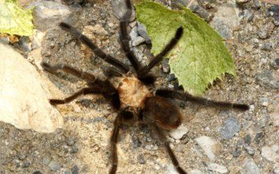 Great migration of tarantulas is underway in Colorado – UPI.com